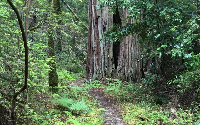 Saturday, January 7, 2017 – Portola Redwoods State Park